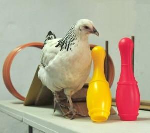 Kurczak agility
